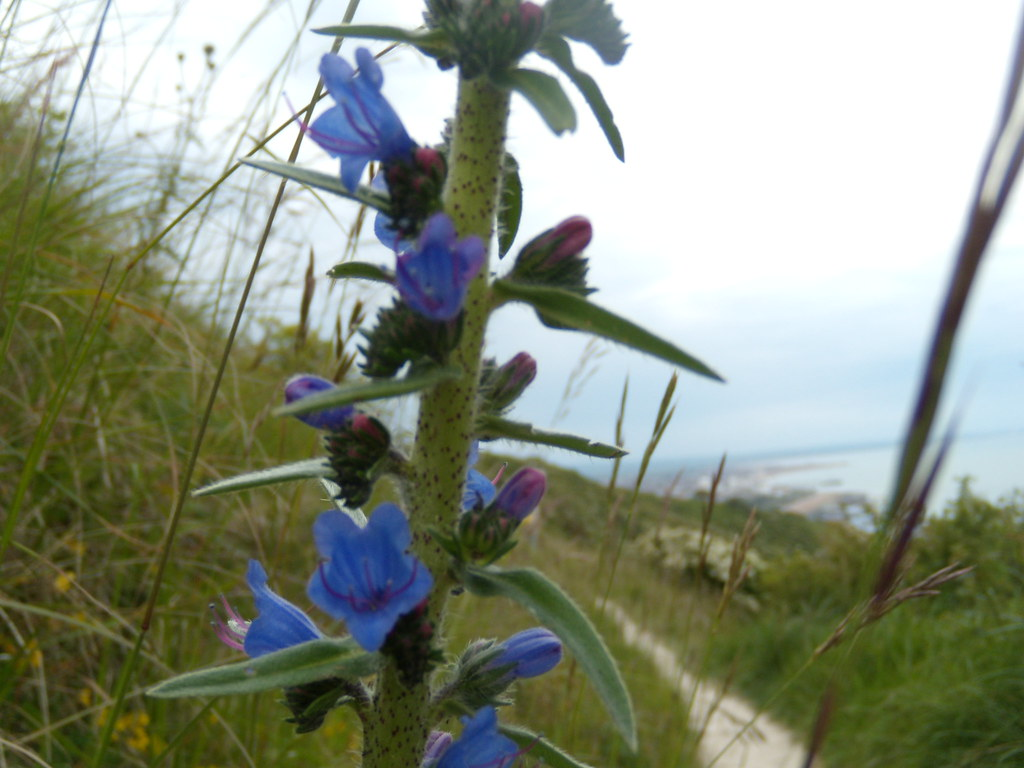 Vipers Bugloss Seaford to Eastbourne