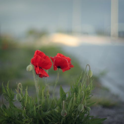 Poppies in Amsterdam Harbour ...