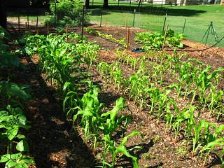Veggie Garden, mid June