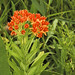 Butterfly Milkweed - Photo (c) Frank Mayfield, some rights reserved (CC BY-SA)