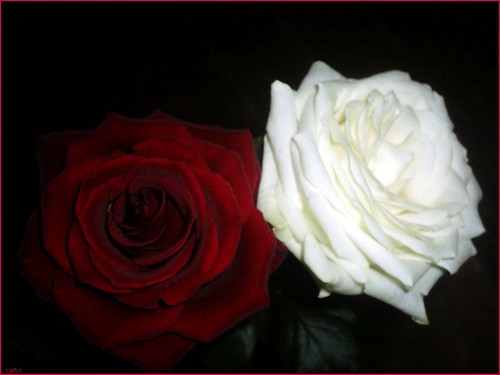 ~ Roses ~ *3