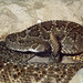 Eastern Diamond-back Rattlesnake