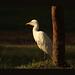 Egret by Bingzy