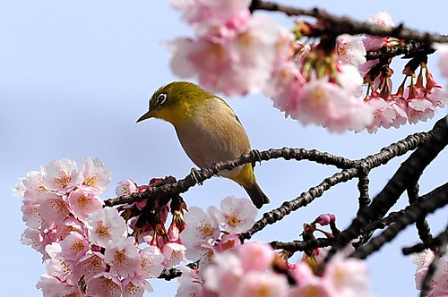 Sakura(Cherry Blossoms) and its best matching White-Eye