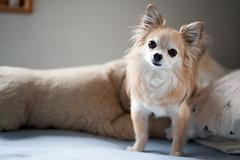 dog breed, chihuahua, animal, dog, pet, mammal, papillon,