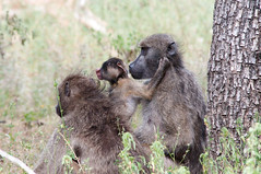 irish wolfhound(0.0), macaque(0.0), animal(1.0), baboon(1.0), monkey(1.0), mammal(1.0), fauna(1.0), old world monkey(1.0), safari(1.0), wildlife(1.0),