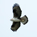 Bonelli's Eagle - Photo (c) Paul Asman and Jill Lenoble, some rights reserved (CC BY)