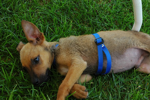 Blue, Rosie's brother, wearing his blue collar, rests in grass for the first time in his short life, rescued from a desert existence, recovering from starvation, Baja's Best El Rosario Cafe Bed and Breakfast, El Rosario, Baja California Norte, Mexico by Wonderlane