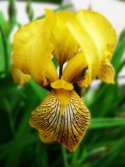 Bearded Iris, yellow