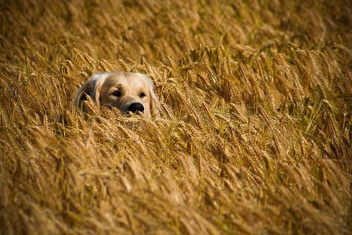 dog chien barley goldenretriever arthur camouflage orge cachecache vezet tuturette