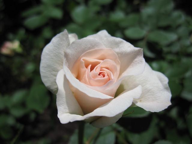 Rosa 'Morden Blush' blooms in the Cranford Rose Garden. Photo by Rebecca Bullene.
