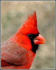 Northern Cardinal -  (Cardinalis cardinalis)