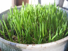 vegetable(0.0), artificial turf(0.0), welsh onion(0.0), produce(0.0), food(0.0), lawn(0.0), plant stem(0.0), chives(0.0), grass(1.0), wheatgrass(1.0), herb(1.0),