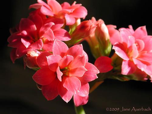kalanchoe blossfeldiana cv  calandiva