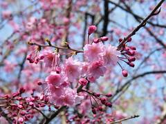 Sakura at Heiwa Park - 平和公園の桜