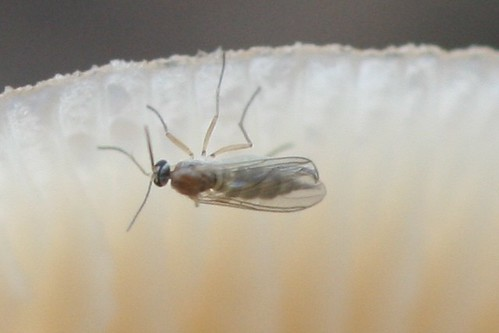 Guide to common filth flies pest control and bug for Gnat infestation in bathroom