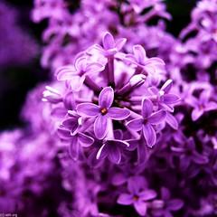 Flieder/ Lilac
