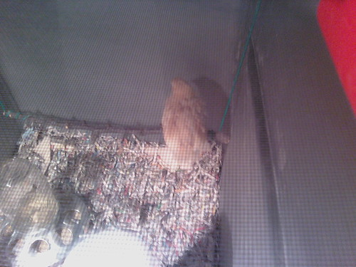 3 week old Roosting chick