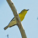 Yellow-throated Vireo - Photo (c) Jerry Oldenettel, some rights reserved (CC BY-NC-SA)