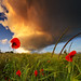 Red Poppies And A Dramatic Sunset Sky