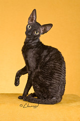 Kissy III, Black Smoke Cornish Rex Female
