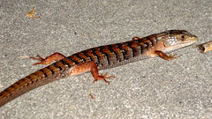 smooth newt(0.0), newt(0.0), salamander(0.0), lissotriton(0.0), animal(1.0), reptile(1.0), lizard(1.0), fauna(1.0), scaled reptile(1.0),
