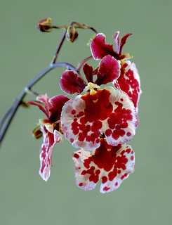 Orchid Beauty, Fairchild Tropical Botanic Garden.