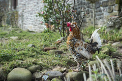 Hen in the garden