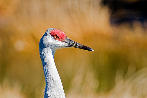Sandhill Crane on guard