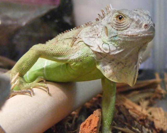 Baby Green Iguana | Flickr - Photo Sharing! - photo#18