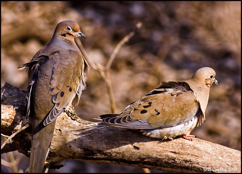Mr. & Mrs. Mourning Dove  0445