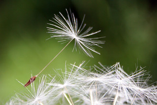 Ready for take-off - Dandelion