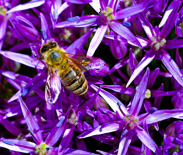 Bee Pollinates big purple blooms