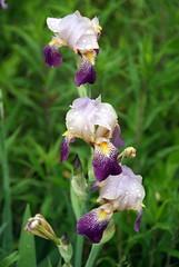 ophrys insectifera(0.0), ophrys(0.0), eye(0.0), iris(1.0), flower(1.0), iris versicolor(1.0), plant(1.0), flora(1.0),