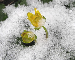 Late snow does not surprise  - Early buttercups