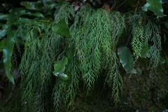drooping spleenwort - Photo (c) dogtooth77, some rights reserved (CC BY-NC-SA)