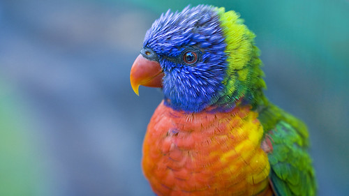 Ruffled: Pistache the Lorikeet