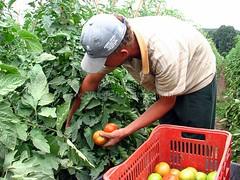 agriculture(1.0), farm(1.0), vegetable(1.0), field(1.0), soil(1.0), plant(1.0), gardener(1.0), harvest(1.0), produce(1.0), fruit(1.0), food(1.0), farmworker(1.0),