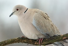 Eurasian Collared-Dove - Photo (c) Rudo Jureček, some rights reserved (CC BY-NC-SA)