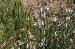 prairie, flower, plant, herb, wildflower, flora, branched asphodel,