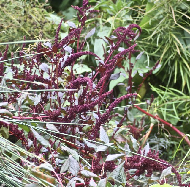 Header of Amaranthus paniculatus