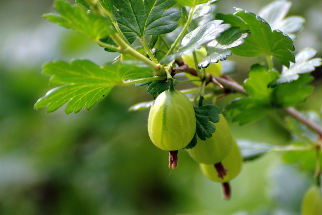 Gooseberry- 12 Perennials to Plant for Free Chicken Food