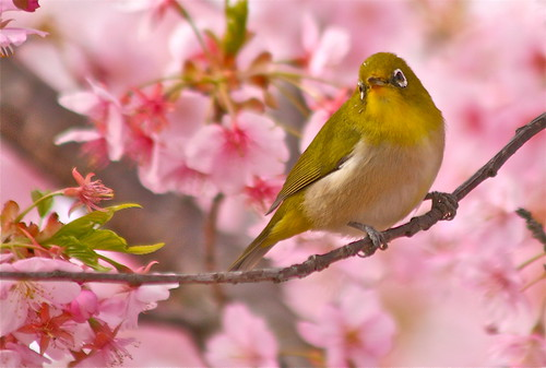 White-Eye & Cherry Blossoms 8
