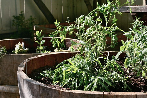 transplanted herbs in new wine barrels