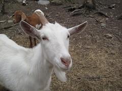 sheep(0.0), pasture(0.0), animal(1.0), mammal(1.0), goats(1.0), domestic goat(1.0), fauna(1.0), goat-antelope(1.0),