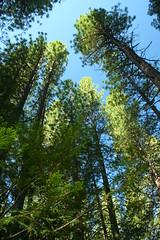 Big trees in the Sierra