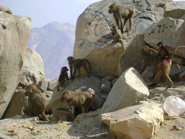 Al Hada Saudi Arabia  city photos : Mountain monkeys of taif al hada [ saudi arabia ]   This one ...
