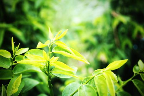 ผักหวานบ้าน, Sauropus androgynus, sweet leaf