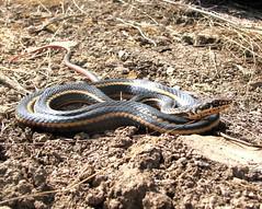 animal, serpent, snake, reptile, grass snake, fauna, garter snake, scaled reptile, kingsnake, wildlife,