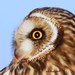 Face of Short-eared Owl By Jack Bird